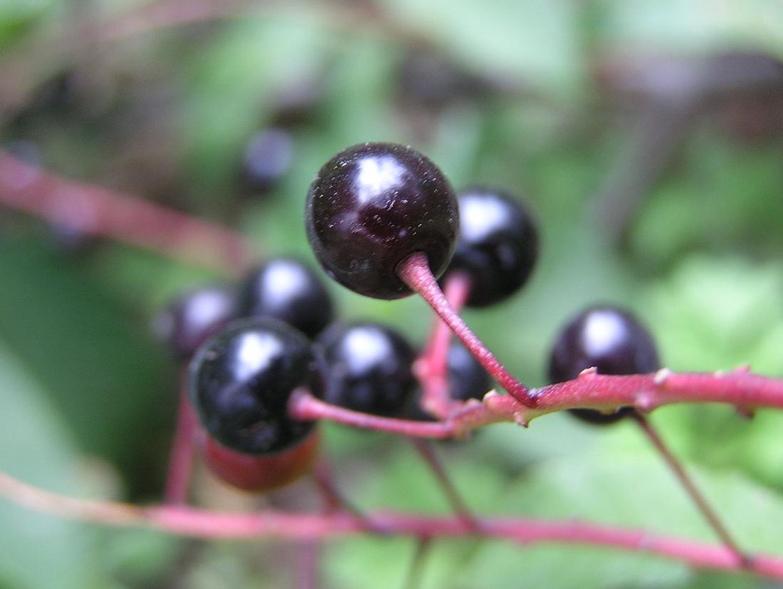 Съедобные ягоды - фото 16
